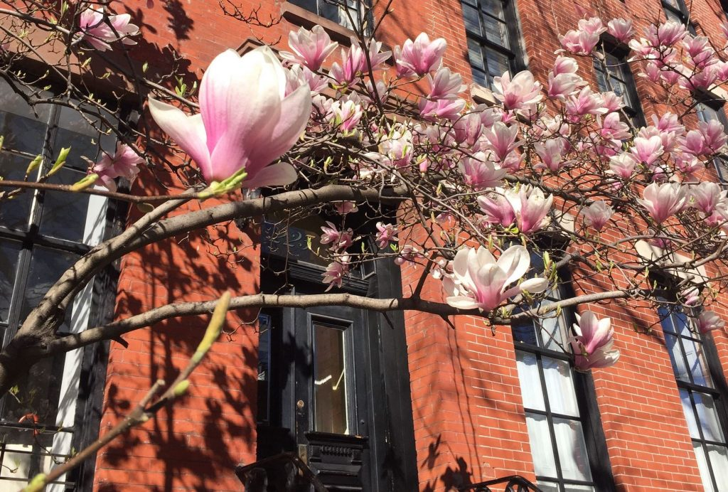 arbre en fleur de couleur rose, typique de la saison du printemps new yorkais avec une brownstone en arriere plan - Retrouvez nos conseils sur le blog de New York Off Road, visites guidées en français de la Grosse Pomme
